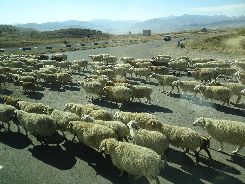 Schafherden sind ständige Begleiter, oder auch Hindernisse....