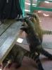 Nasenbären, niedlich anzusehen, aber etwas lästig...