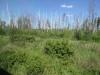 Birkenwälder im Überfluss....